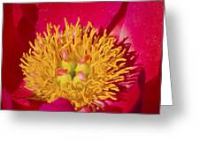 Red Peony Flower Greeting Card