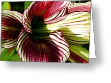 Red Striped Lily Greeting Card