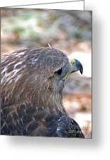 Red Tailed Hawk 2  Greeting Card