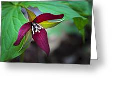 Red Trillium Greeting Card