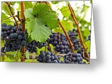 Red Wine Vineyard 3 Greeting Card