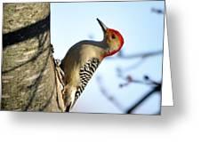 Redbelly Woodpecker Greeting Card