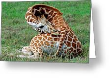 Reticulated Giraffe Resting Greeting Card