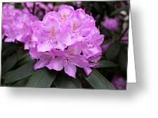 Rhododendron  ' Roseum Elegans ' Greeting Card