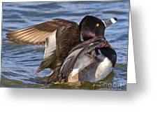 Ring Neck Duck Greeting Card