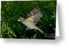Rose-breasted Grosbeak Greeting Card