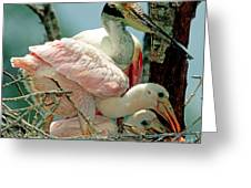 Roseate Spoonbill Adult With Young Greeting Card