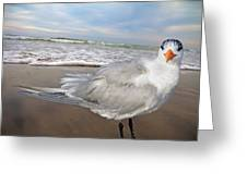 Royal Tern Greeting Card