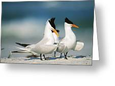 Royal Terns Greeting Card