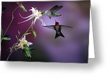 Ruby-throated Hummingbirds (archilochus Greeting Card