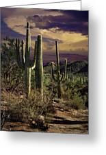 Saguaro Cactuses In Saguaro National Park Greeting Card