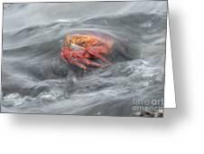 Sally Lightfoot Crab Greeting Card