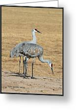 Sand Hill Cranes Eating Greeting Card