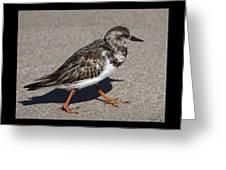Ruddy Turnstone On The Beach Greeting Card