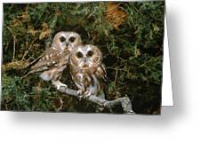 Saw-whet Owls Greeting Card