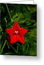 Scarlet Morning Glory Greeting Card