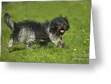 Schapendoes, Or Dutch Sheepdog Greeting Card