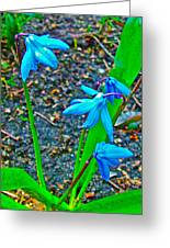 Scilla In New Maiden Cemetery In Moscow-russia  Greeting Card