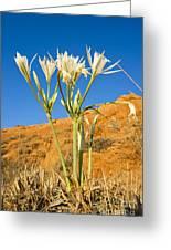 Sea Daffodil Greeting Card