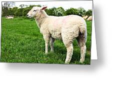Sheep In Field Greeting Card