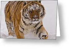 Siberian Tiger In Snow Greeting Card