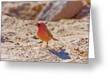 Sinai Rosefinch (carpodacus Synoicus) Greeting Card