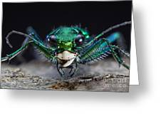 Six-spotted Green Tiger Beetle Greeting Card