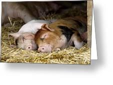 Sleeping Hogs  Greeting Card