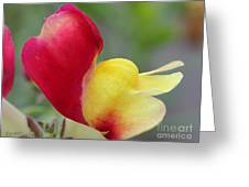 Snapdragon Named Floral Showers Red And Yellow Bicolour Greeting Card