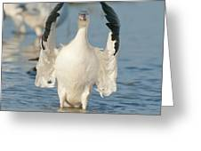 Snow Goose Flapping Skagit River Greeting Card
