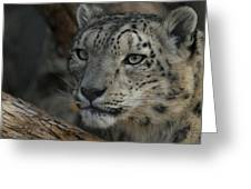 Snow Leopard 14 Greeting Card