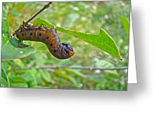 Snowberry Clearwing Hawk Moth Caterpillar - Hemaris Diffinis Greeting Card