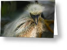 Snowy Egret Chick Greeting Card