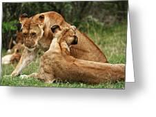 Sociable Lions   Greeting Card