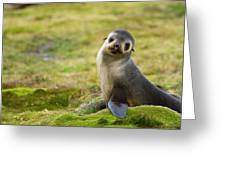 South Georgia Antarctic Fur Seal Greeting Card