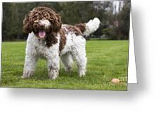 Spanish Water Dog Greeting Card