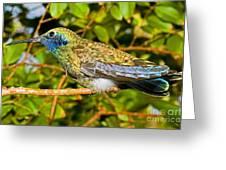 Sparkling Violet Ear Hummingbird Greeting Card