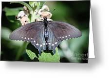Spicebush Swallowtail Papilio Troilus Greeting Card