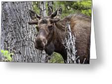 Spring Bull Greeting Card