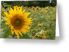 Sun Flower Fields Greeting Card