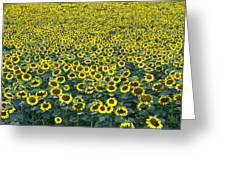 Sunflower Nirvana 13 Greeting Card