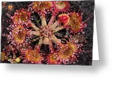 Sundew Greeting Card