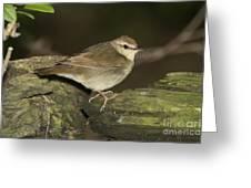 Swainsons Warbler Greeting Card