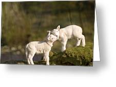 Sweet Little Lambs Greeting Card