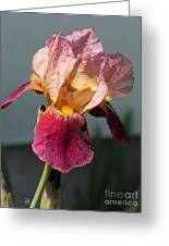 Tall Bearded Iris Named Indian Chief Greeting Card
