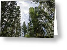 Tall Spruce Trees Greeting Card