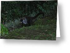 Tayra Costa Rica Animals Zoo Habitat Indigenous Population Mixing With Travellers Enjoying And Being Greeting Card
