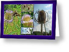 Teasel Thistle - Dipsacus Fullonum Greeting Card