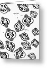 Tem Of Chinese Hamster Spermatozoa Greeting Card