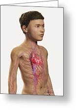 The Cardiovascular System Pre-adolescent Greeting Card